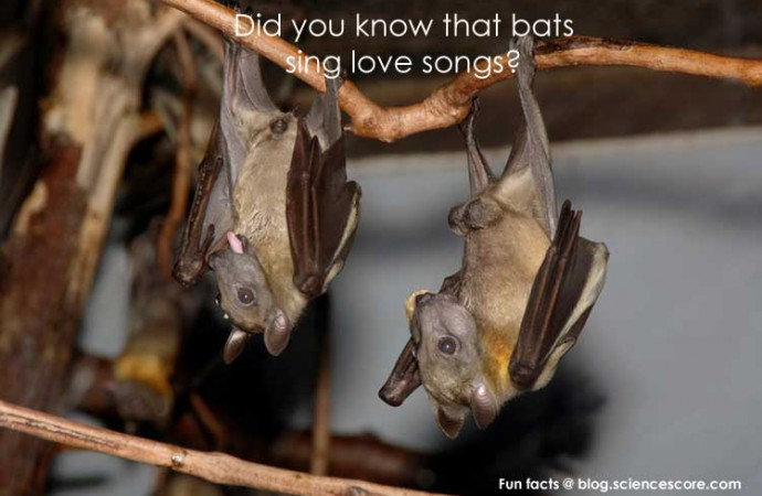 Did you know that bats sing love songs?