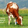 Did you know that cows have 4 stomachs?