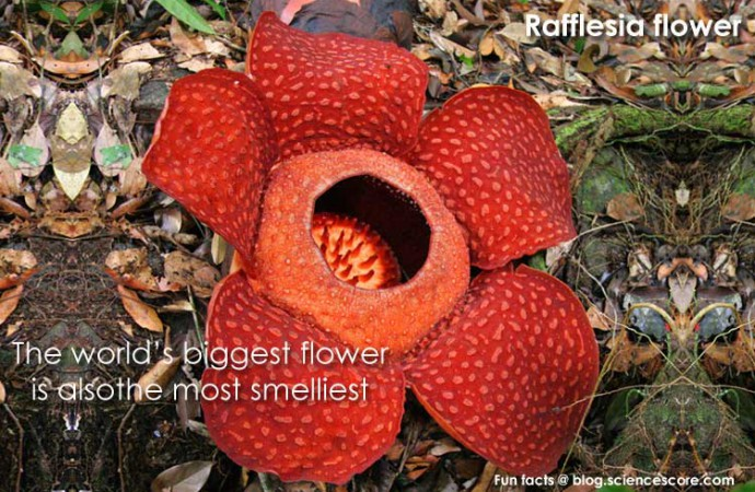 Did you know that the world's biggest flower is also the smelliest?