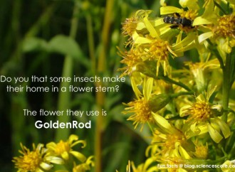 Did you know some insects make homes in a flower stem?
