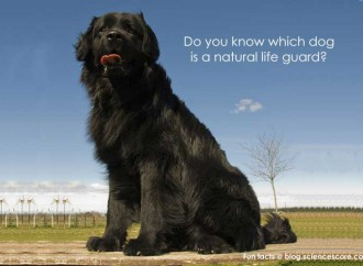 Do you know which dog is a natural lifeguard?