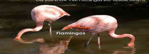Did you know that flamingos eat upside down?