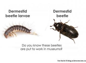 Which insects work for museums?