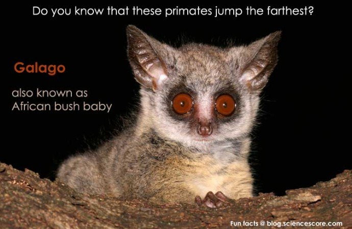 Which primate jumps the farthest?
