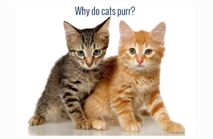 Why do cats purr ?