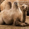 Why do camels have long eyelashes?