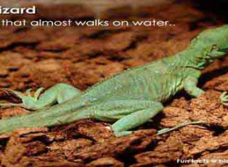 Which reptile walks on water?