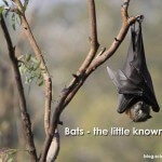 BATS – the little known secrets of flying mammals