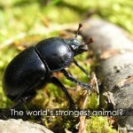 The World's Strongest Animal!