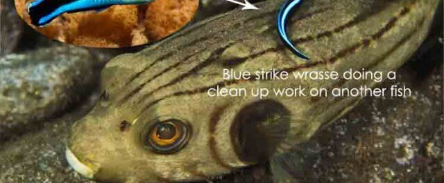 blue-strike-cleaner-wrasse-640x265