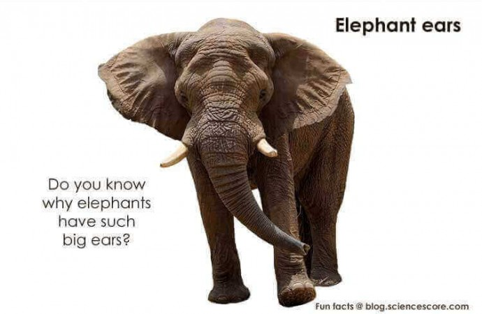 Why do Elephants Have Such Big Ears?