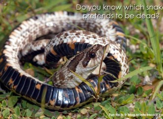 Do you know which snake plays dead?