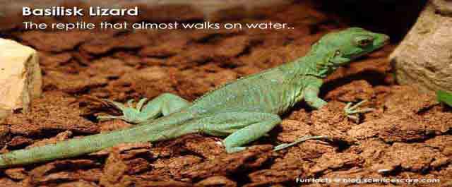 lizard-basilisk-640x265
