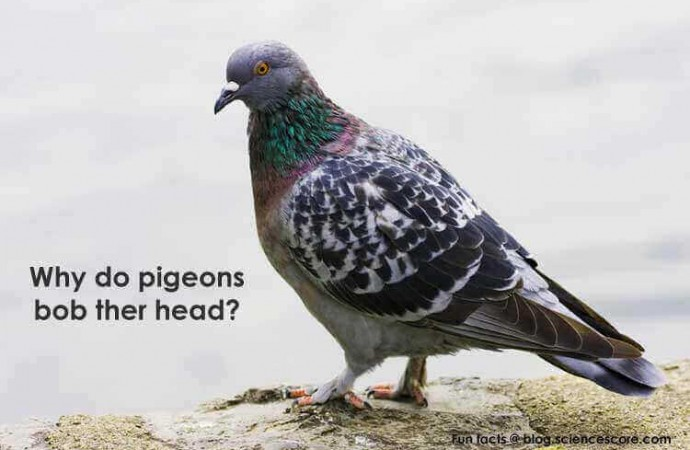 Why do pigeons bob their heads?