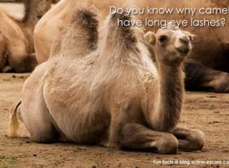 Why do camels have long eyelashes?