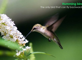 There is only bird that can fly backwards