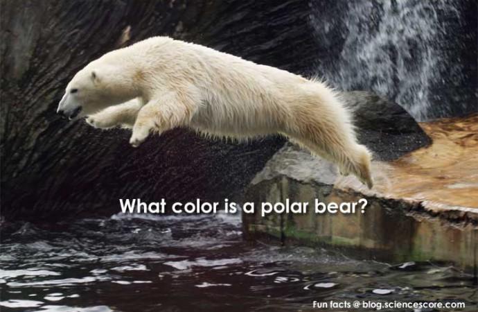 What colour is a polar bear?