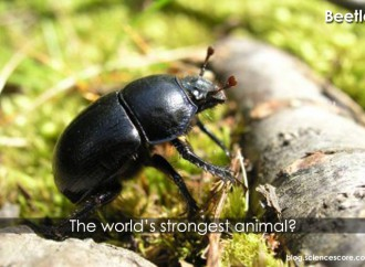 The World's Strongest Animal!