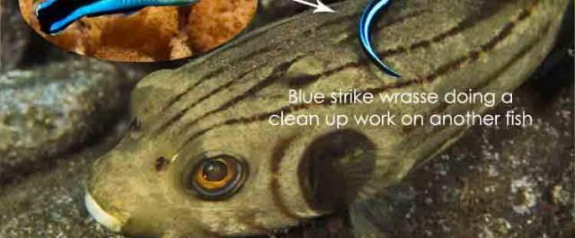 """Which fish runs its own """"car wash""""?"""