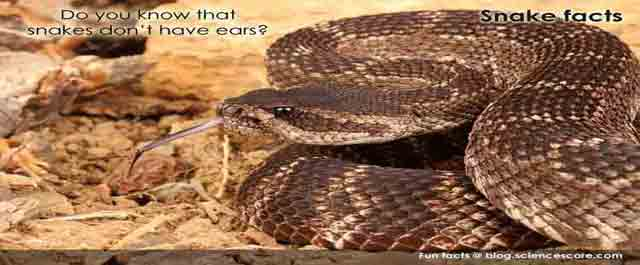 Did you know that snakes don't have ears?