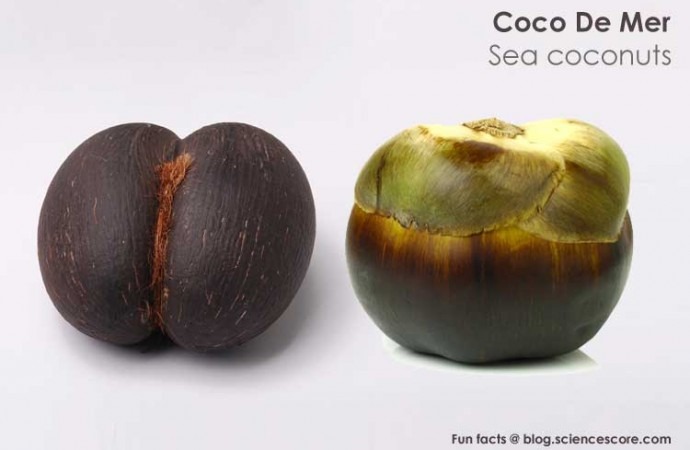Why is the world's biggest seed a naughty nut?