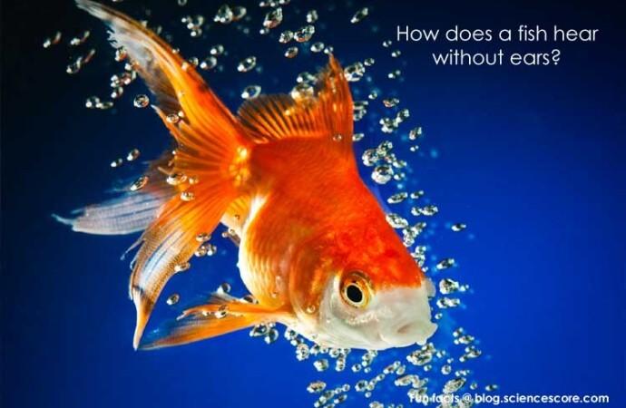 How do fish hear?