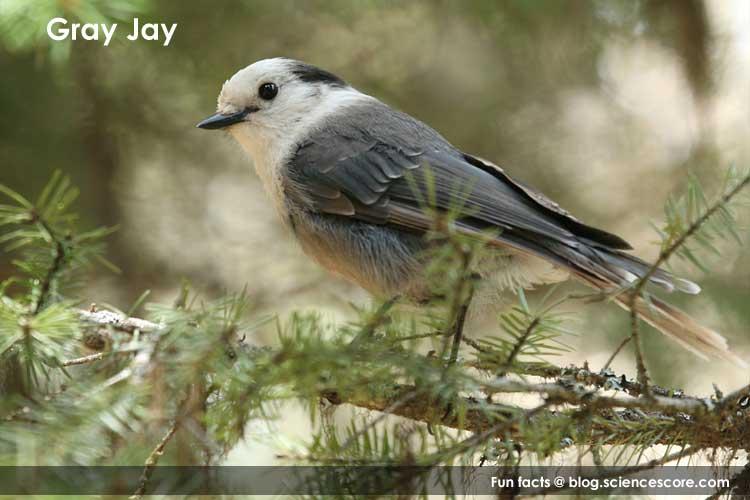 gray-jay