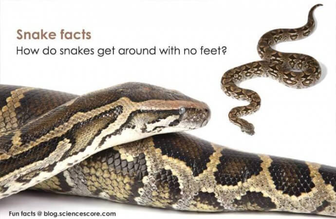 How do snakes get around with no feet?